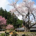 エドヒガン桜 春谷寺