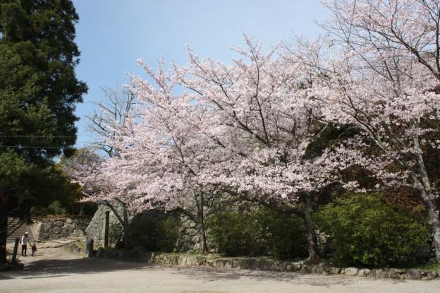 松坂城桜001