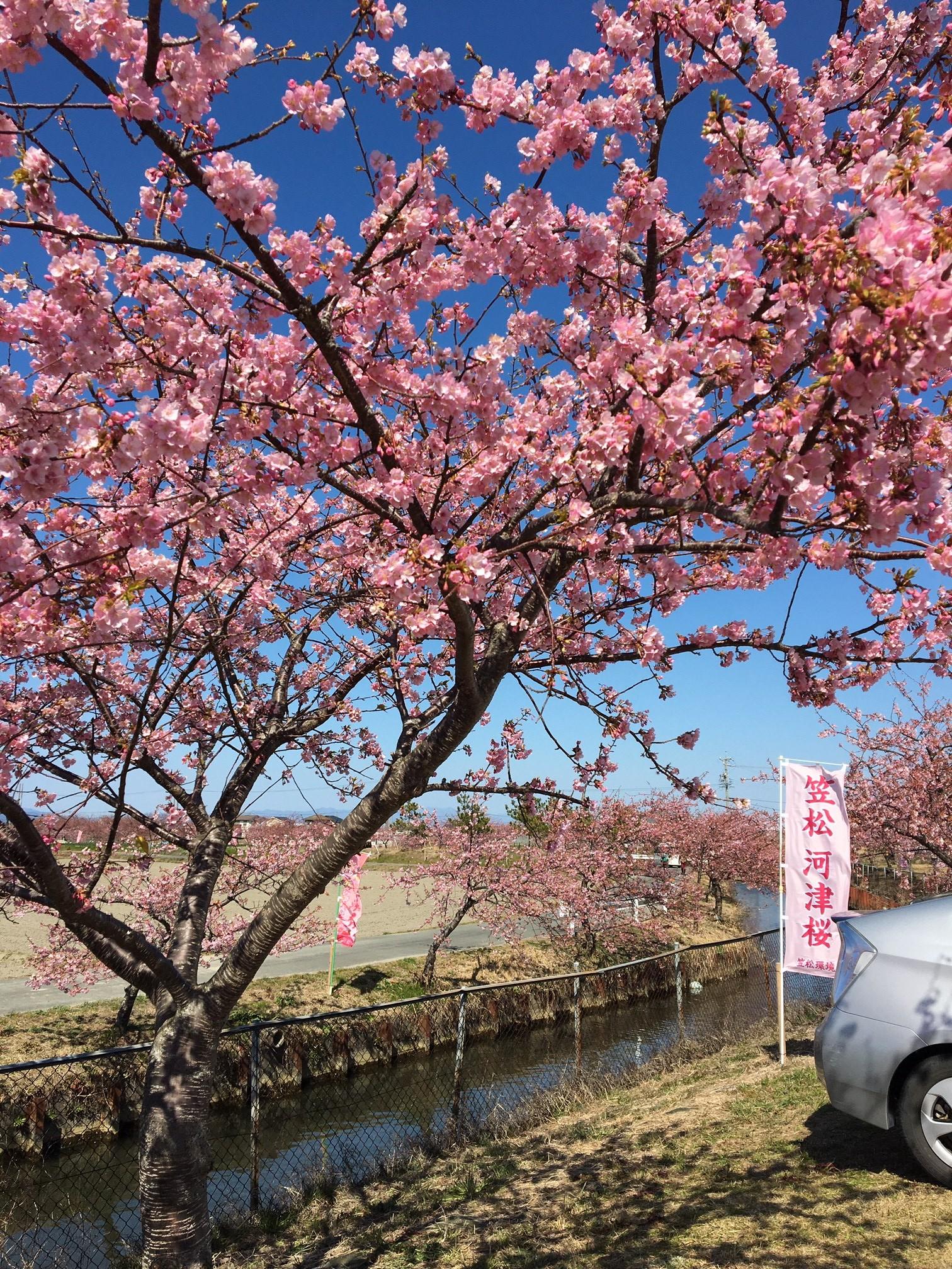 河津 桜 開花 予想 2020