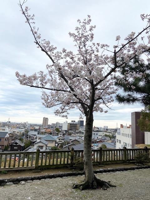 松阪市内 桜の開花状況【令和2年3月29日現在】