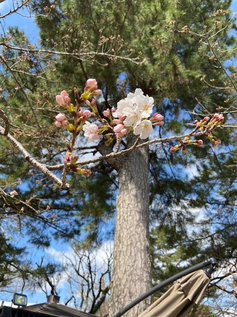 桜開花状況【令和2年3月24日現在】