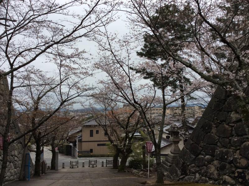 松阪市内 桜開花状況【令和2年3月30日現在】