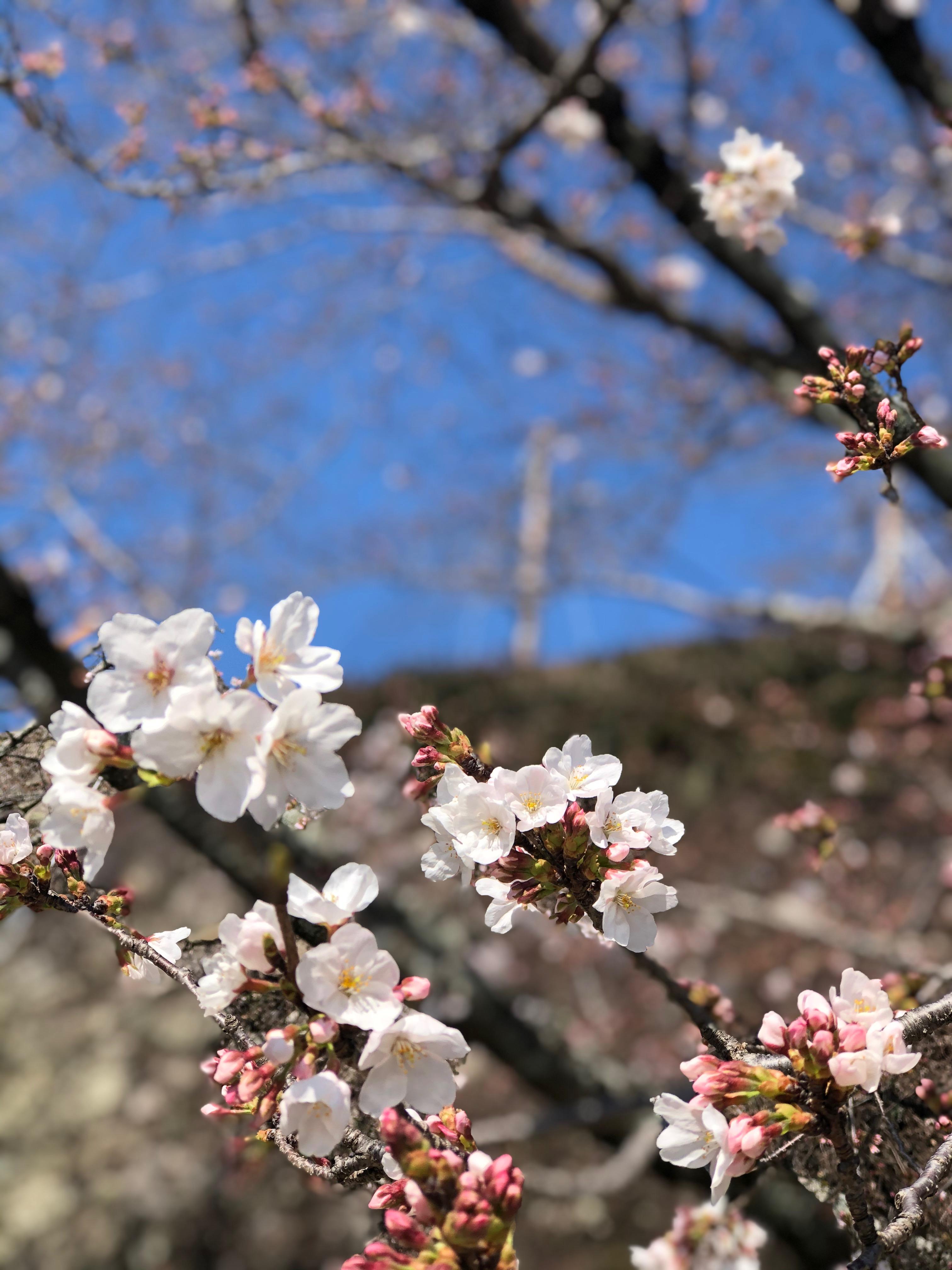 桜開花状況【令和2年3月26日現在】