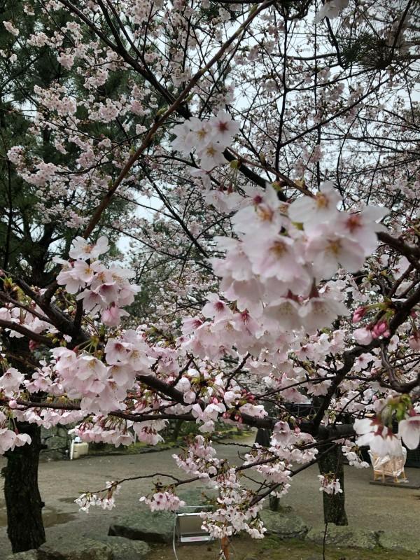 松阪市内 桜開花状況【令和2年3月31日現在】