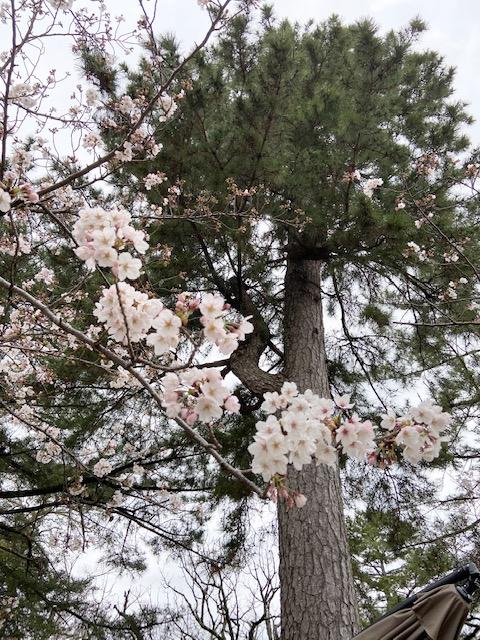 松阪市内 桜の開花状況【令和2年3月28日現在】