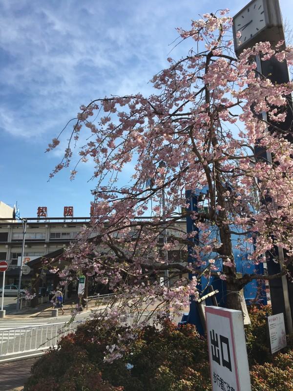 松阪駅前桜