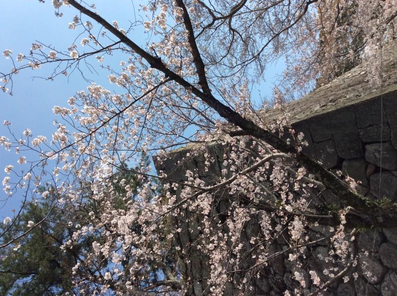 松阪市内 桜開花状況【令和2年4月2日現在】