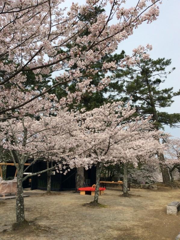 松阪市内 桜開花状況【令和2年4月3日現在】