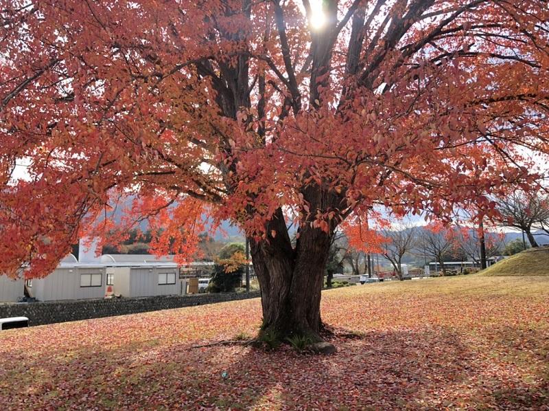 飯南高校のハナノキR2.11.16(2)