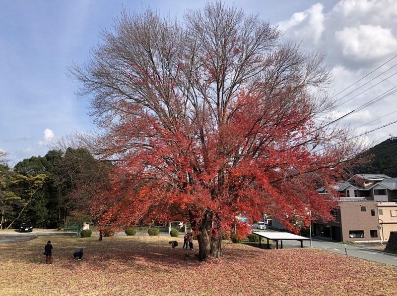 飯南町 ハナノキ 紅葉状況 2020/11/16
