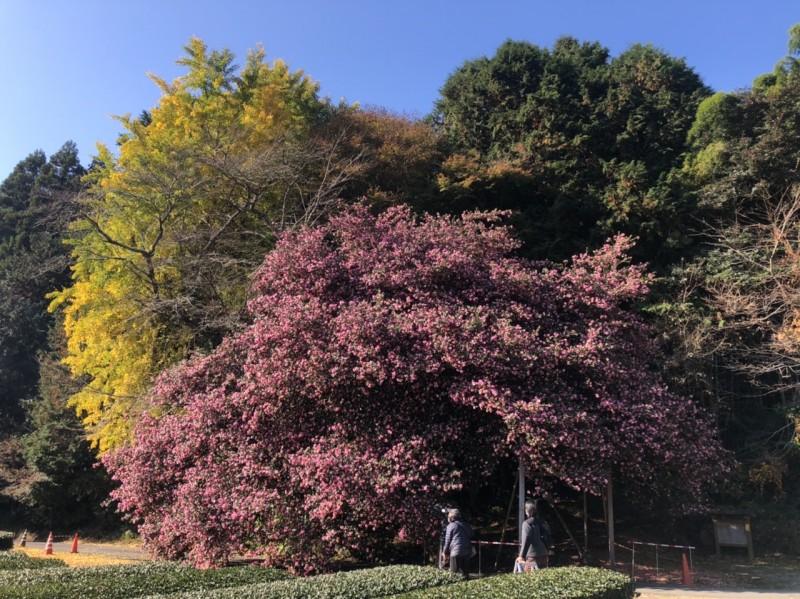 飯南町粥見 サザンカの大木 開花状況 2020/11/25