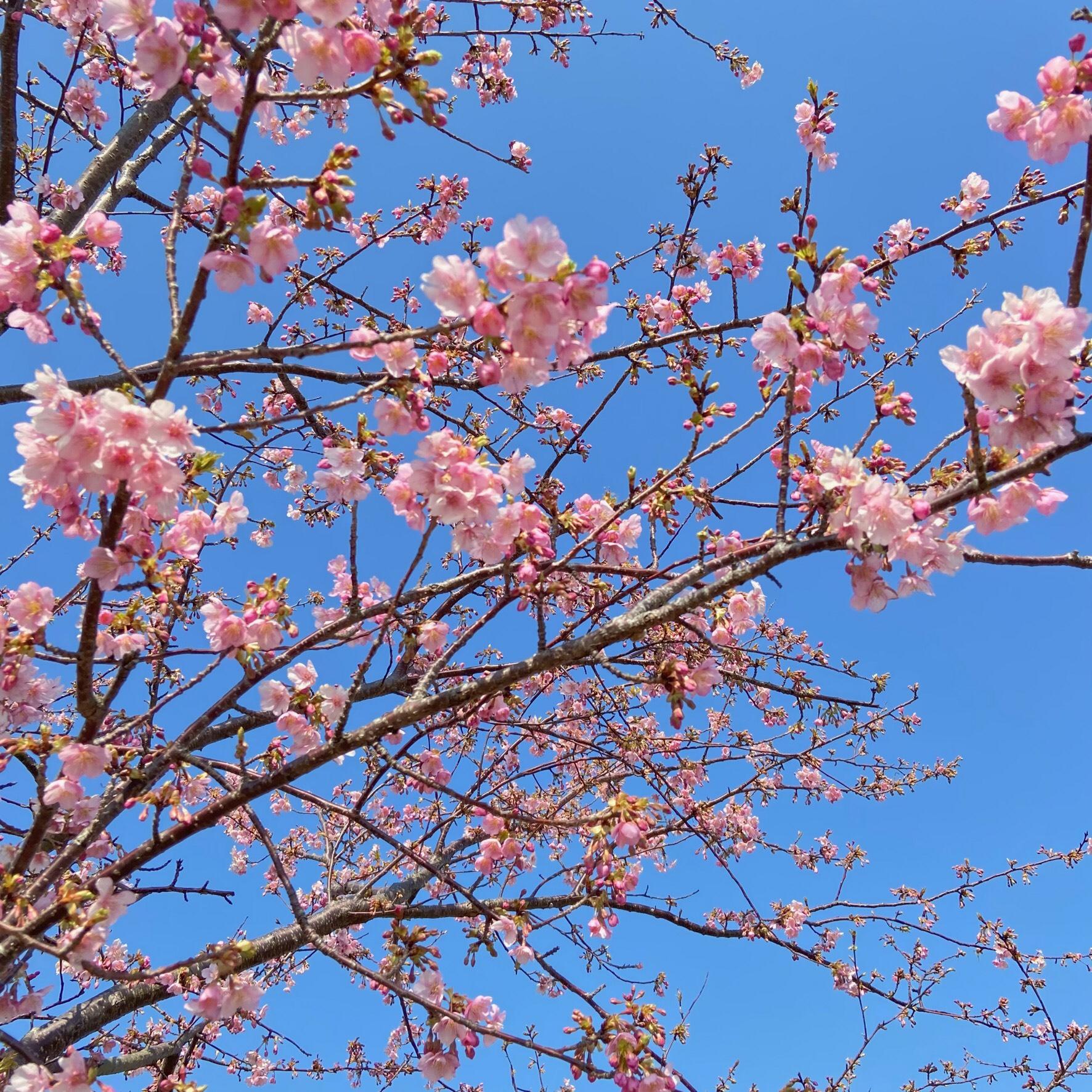 2021年2月20日(土) 笠松 河津桜開花状況