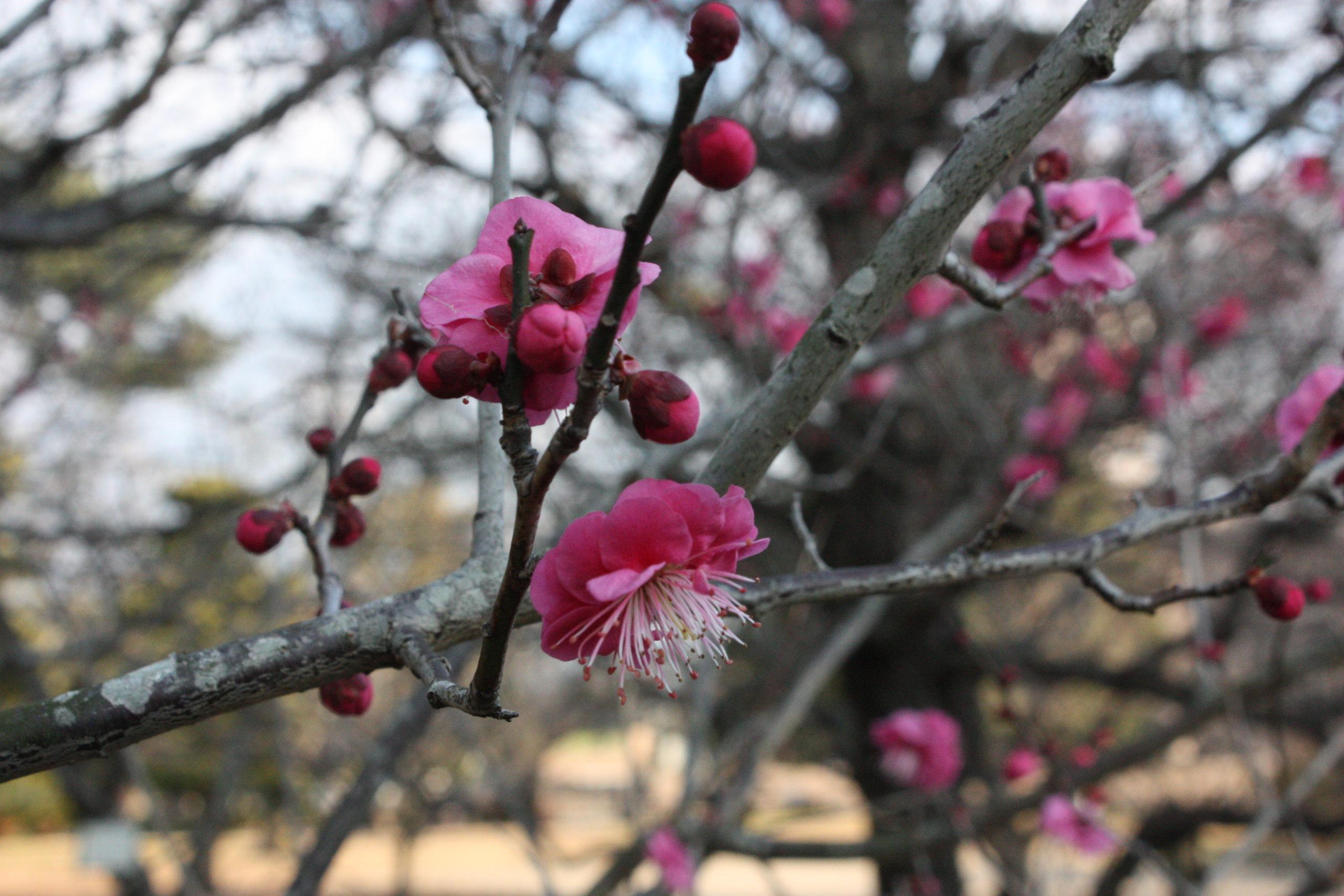2021年2月4日(木)梅開花状況 鈴の森公園・松坂城跡・御城番屋敷