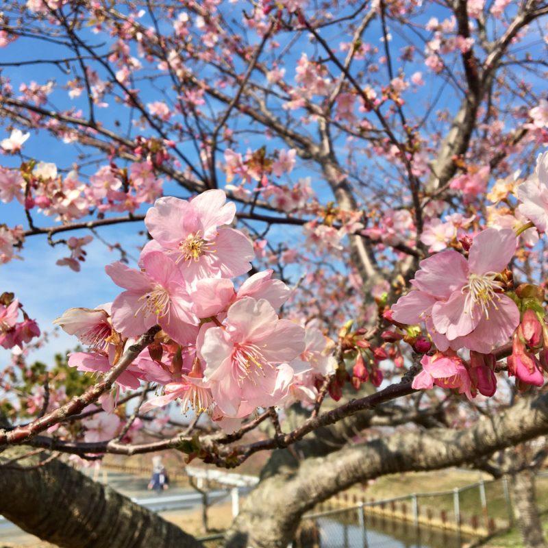 河津桜の開花状況 笠松町