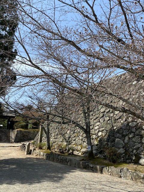 松阪市内 桜開花状況【令和3年3月19日現在】