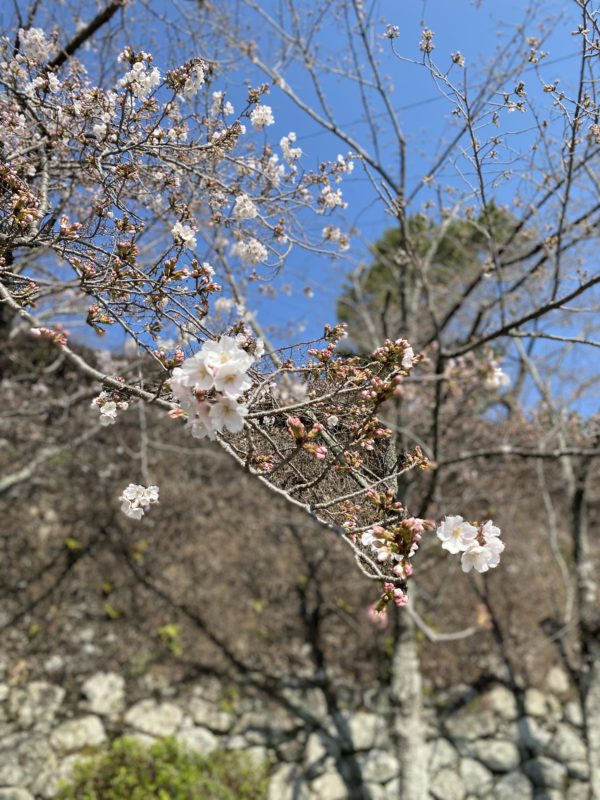 松阪市内 桜開花状況【令和3年3月25日現在】