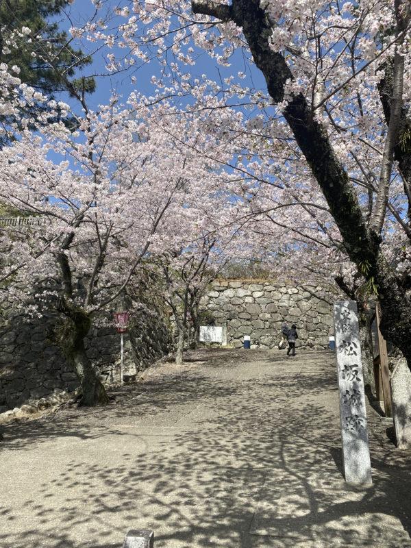 松阪市内 桜開花状況【令和3年3月31日現在】