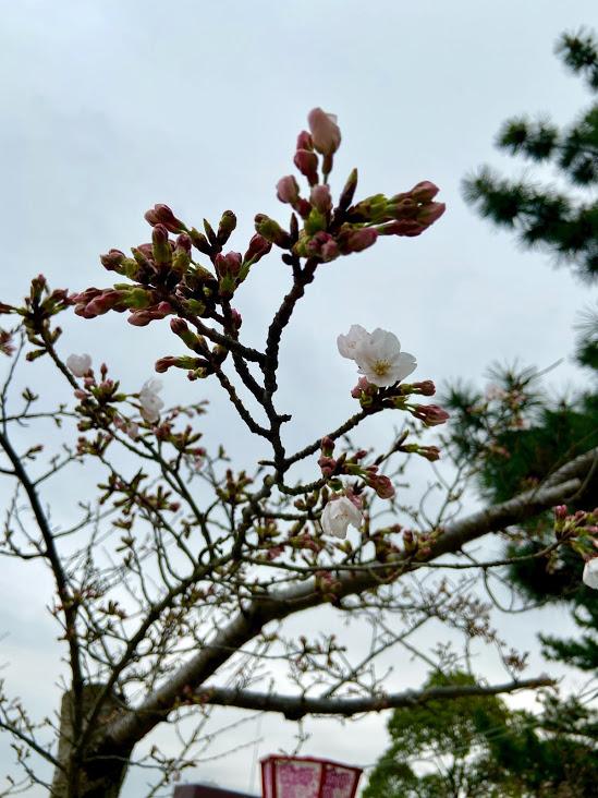 松阪市内 桜開花状況【令和3年3月20日現在】
