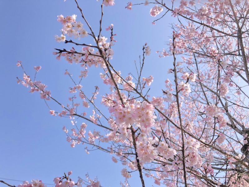 2021年3月17日(水) 春谷寺 エドヒガン桜開花状況