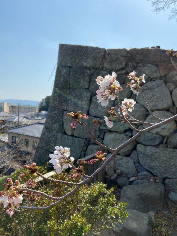 松阪市内 桜開花状況【令和3年3月26日現在】