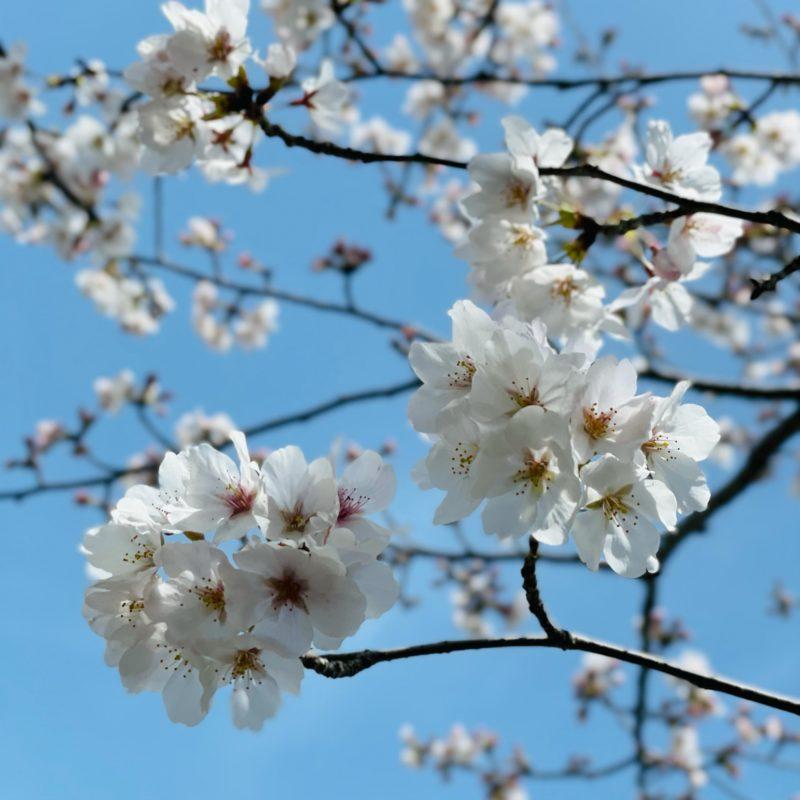 松阪市内 桜開花状況【令和3年3月29日現在】