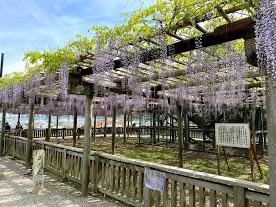 松阪公園(松坂城跡) 藤開花状況【令和3年4月22日】