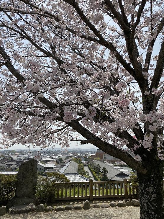 松阪市内 桜開花状況【令和3年4月1日現在】