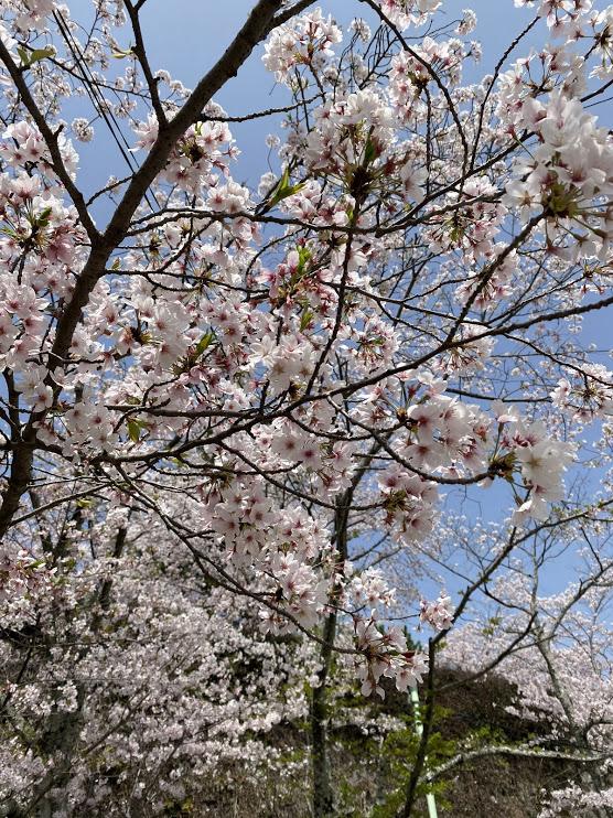 松阪市内 桜開花状況【令和3年4月2日現在】