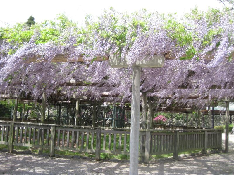 松阪公園(松坂城跡)の藤開花状況【令和3年4月8日】
