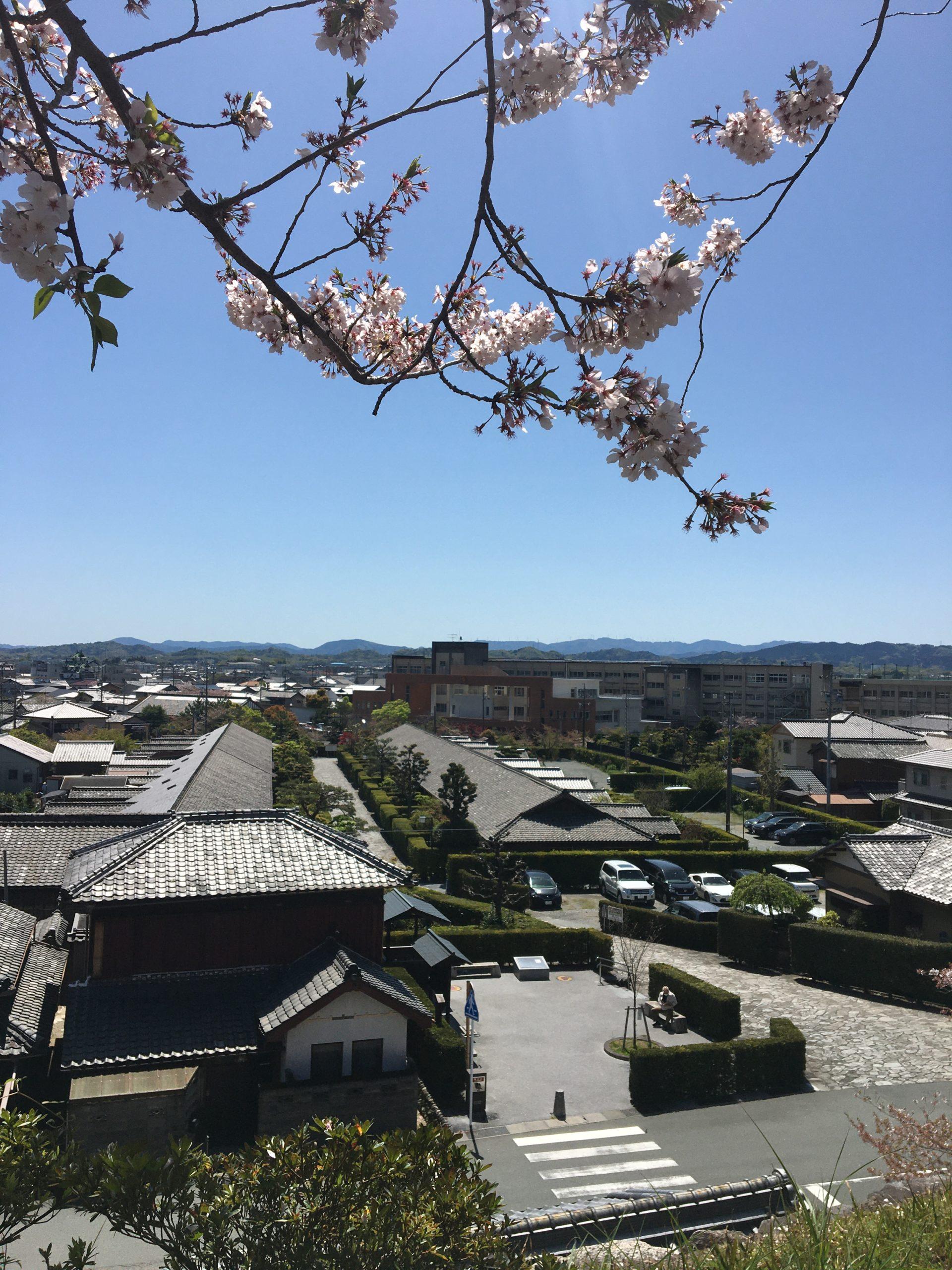 松阪市内 桜開花状況【令和3年4月9日現在】