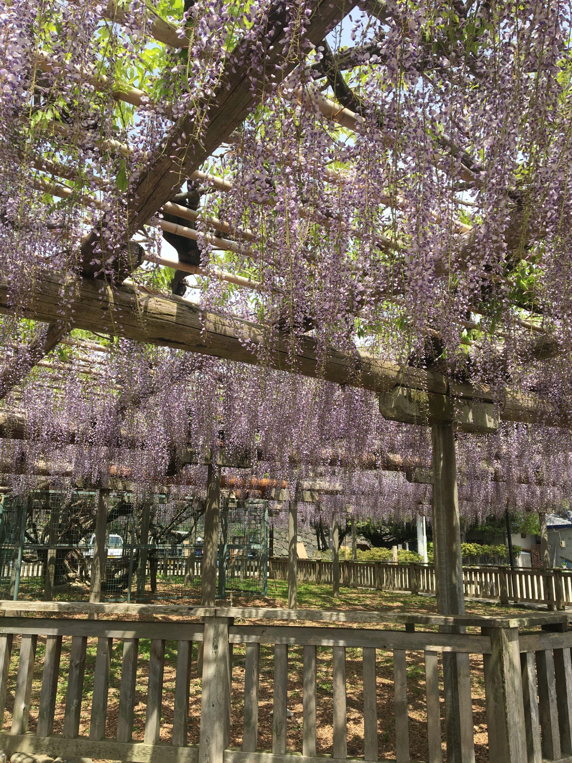 松阪公園(松坂城跡) 藤開花状況【令和3年4月23日】